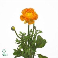 'Amandine Orange'
