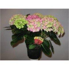 Hydrangea   roze pot 14 Tillaer