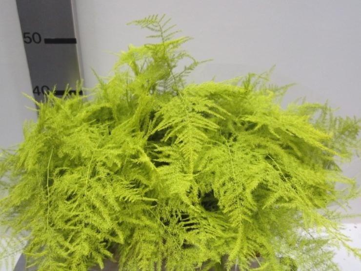 Asparagus kleurbehandeld